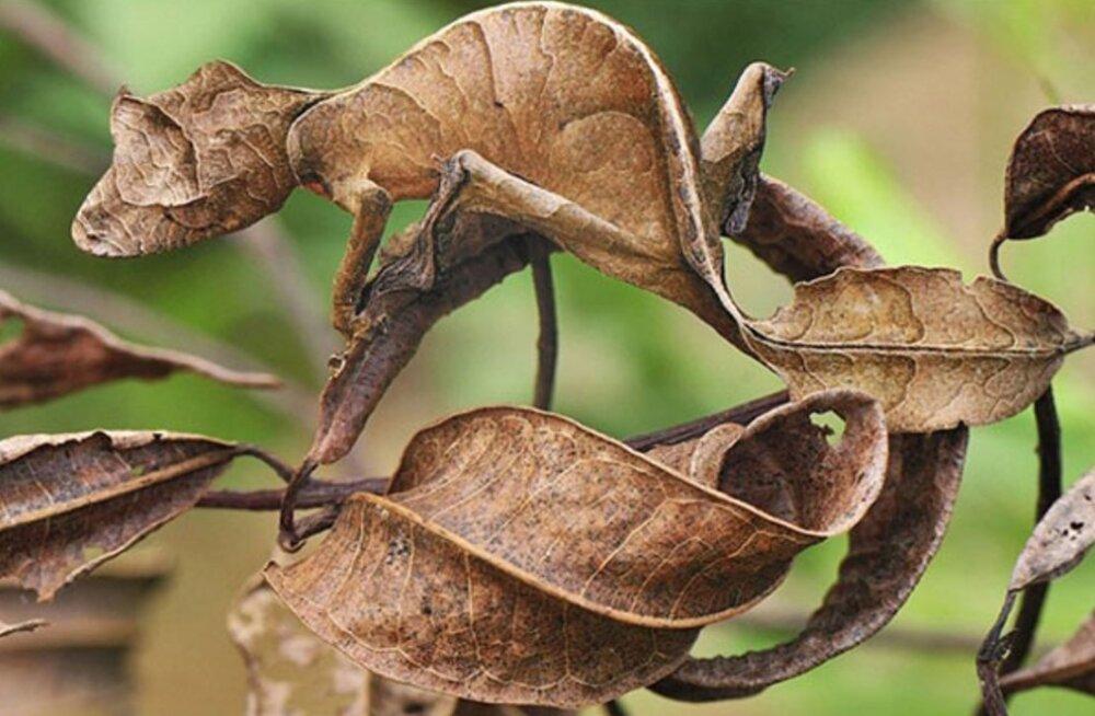 PILKUPÜÜDVAD KAADRID: 15 fotot uskumatu kaitsevärvusega loomadest, mis panevad sind proovile