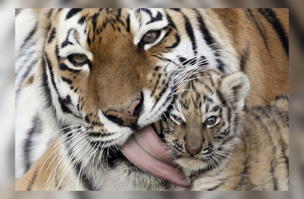 VIDEO: Taigast leitud läbikülmunud tiiger aidati uuele elule