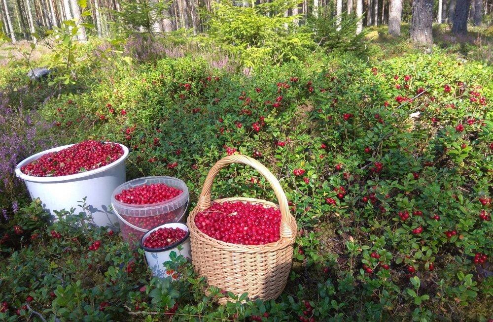 ФОТО | Фантастика: посмотрите, сколько брусники собрали ягодники за 45 минут!
