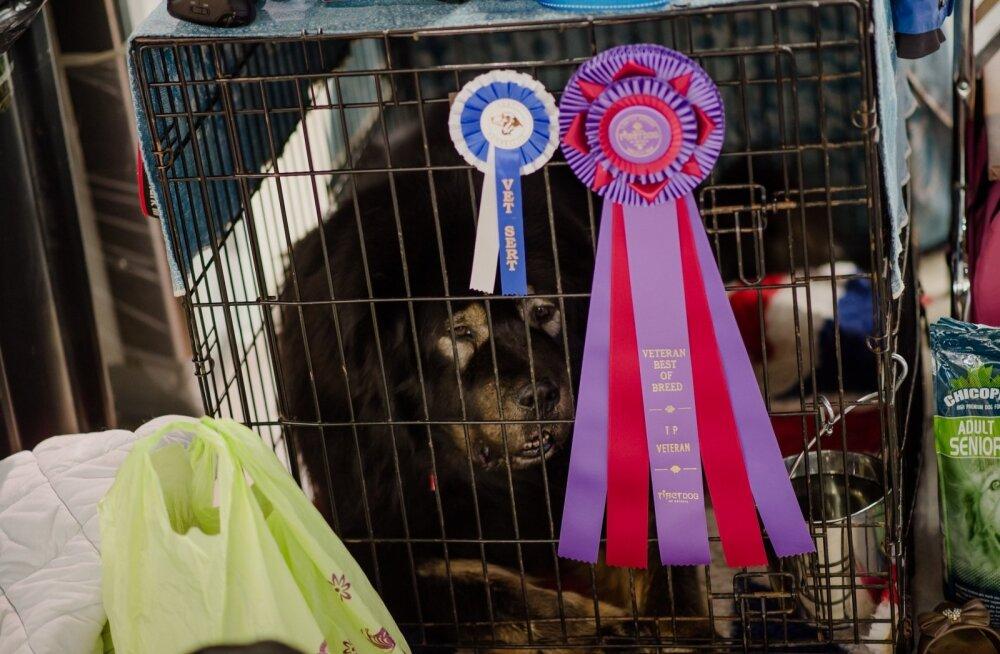 Tibet Dog Estonia 2015
