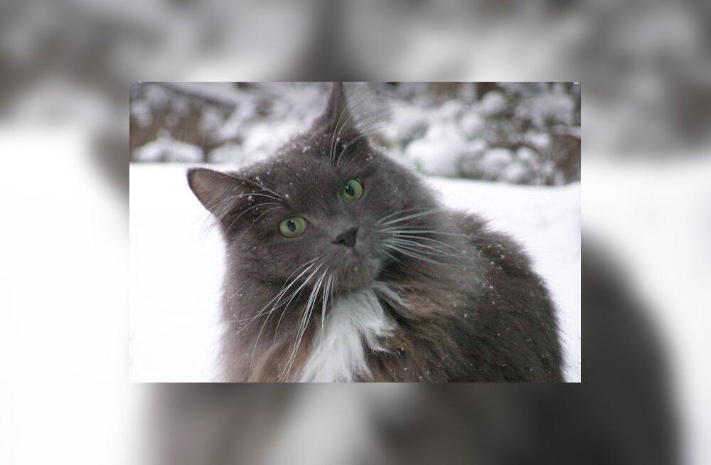 Omanikud on mures: Nõmmel kaduma läinud eaka kassi leidjale pakutakse suurt vaevatasu