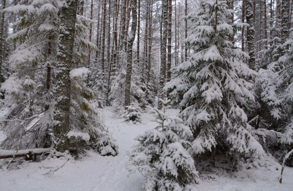 TEST | Proovi, kas oskad metsast õige jõulupuu valida!