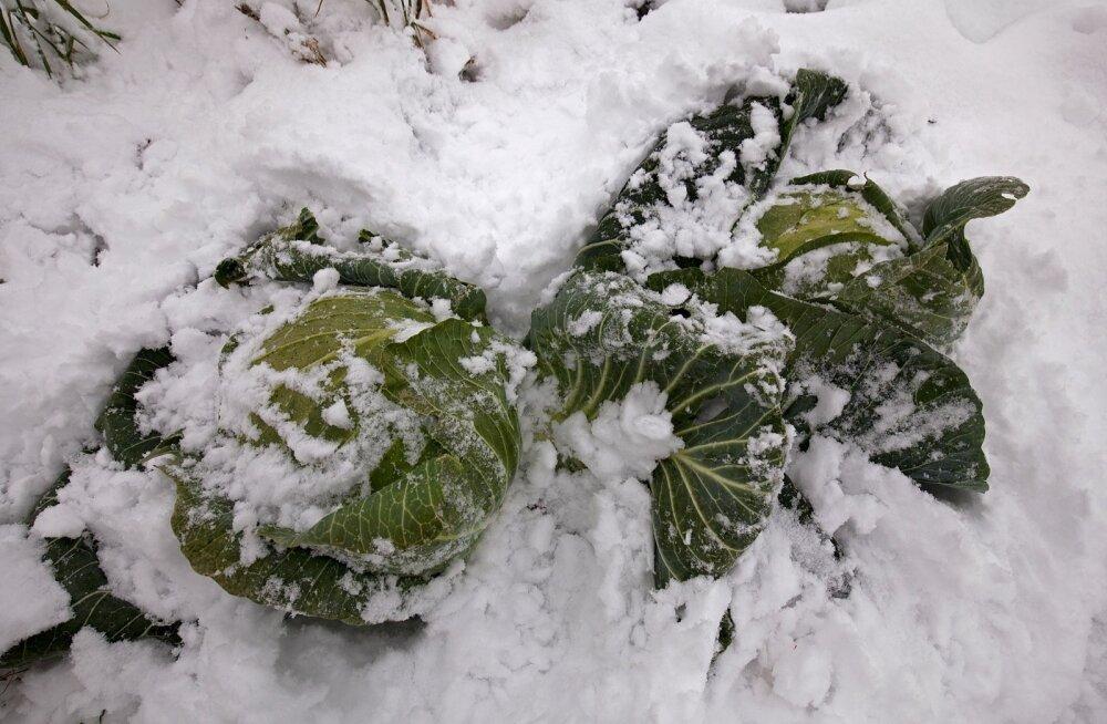 Talv pole kapsapõllul parim aeg