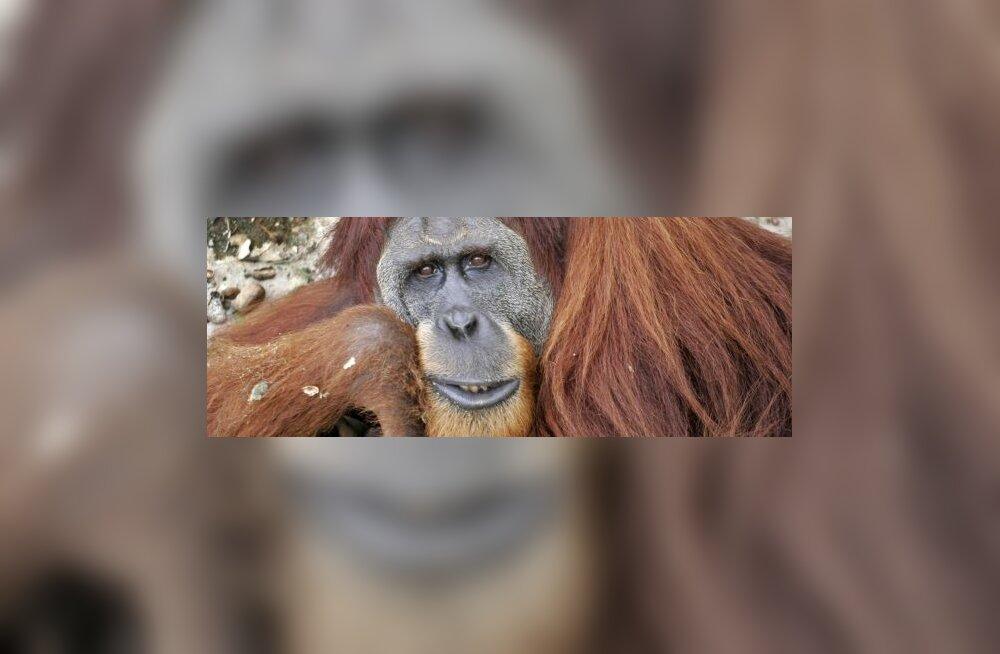 Meie lähim sugulane pole šimpans, vaid orangutan?
