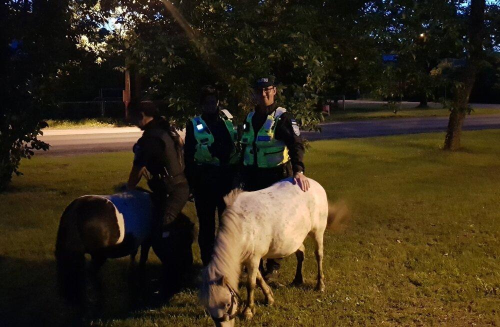 Politsei leidis Pärnus linnas uitamas kaks omanikuta poni