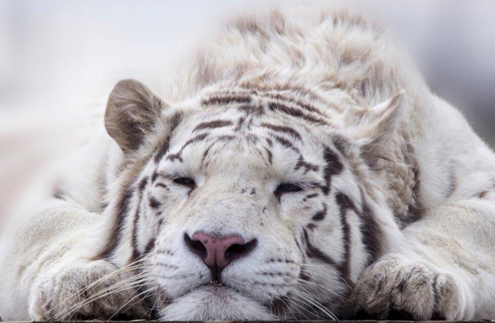 Maagilise ja atraktiivse välimusega valgete tiigrite taga peitub sünge tõde