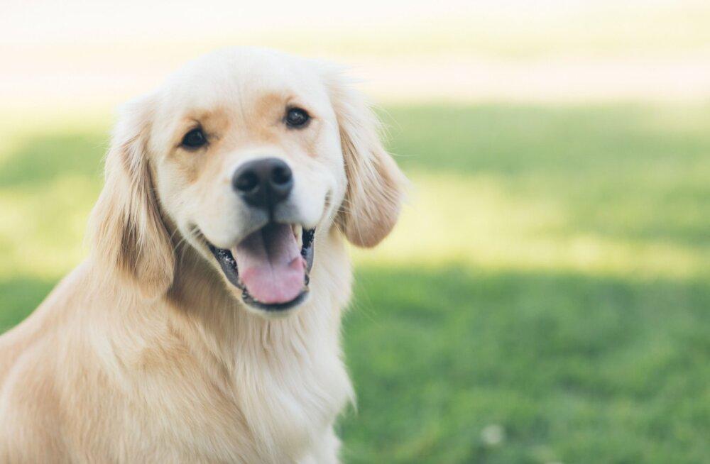 KOERAFAKTID: põnevad ja üllatama panevad tõsiasjad koerte kohta, mida sa enne ei teadnud