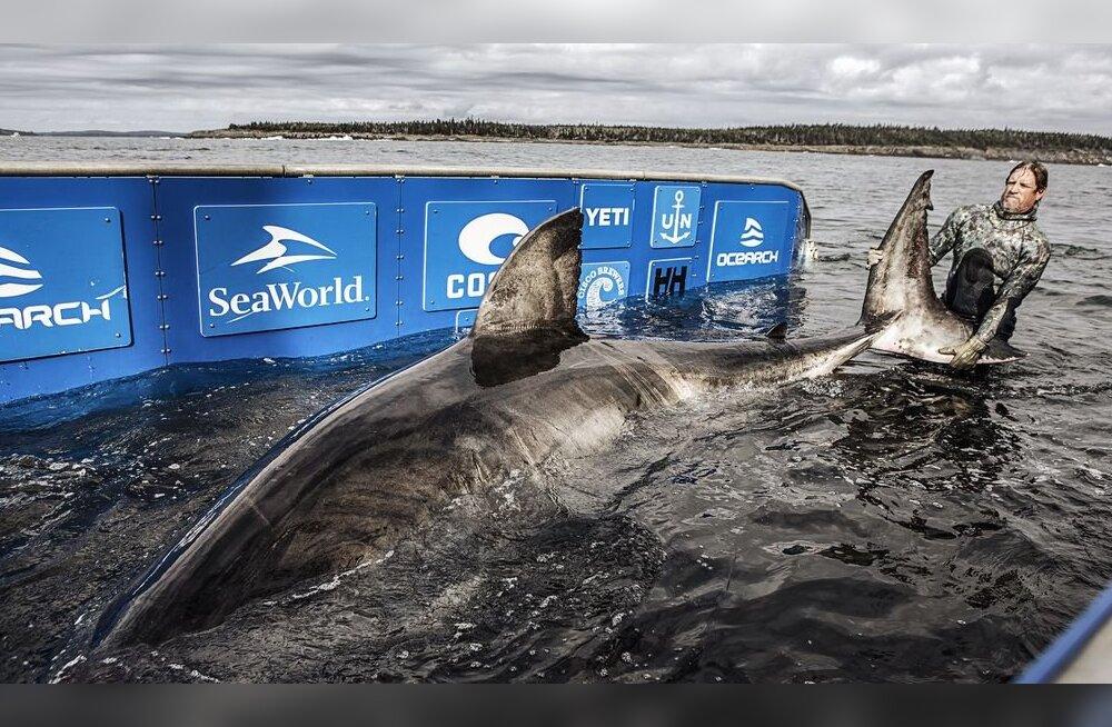 Ookeani matriarh: Kanada vetest leiti hiiglaslik hai
