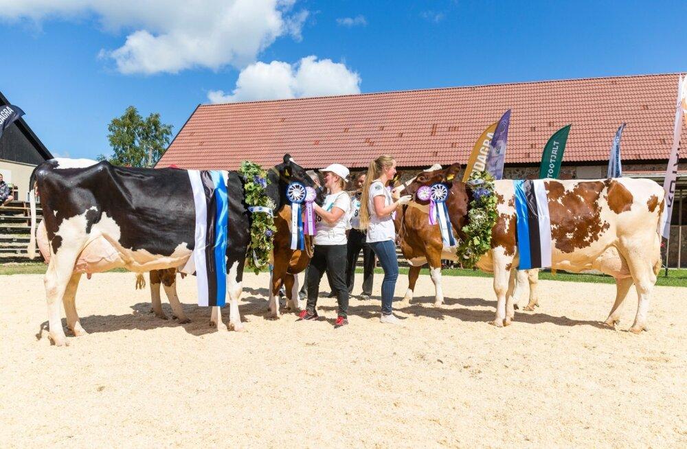 Kuigi ilus välimus ei käi alati käsikäes kõrgeima piimatoodanguga, on need asjad omavahel seotud. Vingeimad lehmad saavad pärjatud iga-aastasel vissivõistlusel.