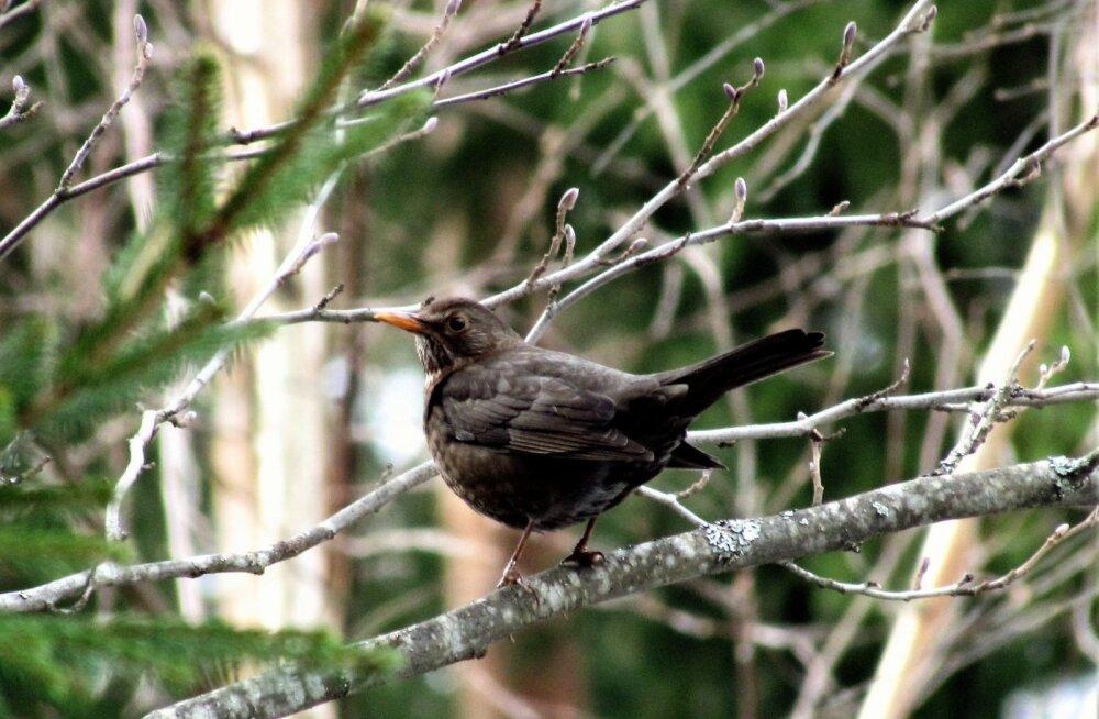Leili metsalood | Linnukevad kogub hoogu