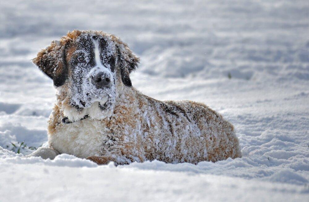 Karm pakane: 5 viisi, mil moel külm ilm koera mõjutab