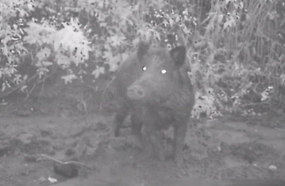 Zooloogid 2.0: Rajakaamera püüdis pilti metssigade lõbusad tegemised