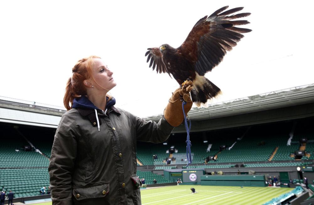 VIDEO | Kotkal töö tegemata! Tuvi ei tahtnud Wimbledoni tennisiste kuidagi rahule jätta