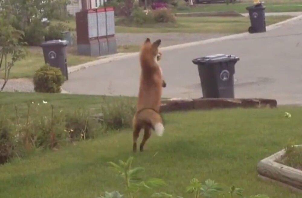 Nalja nabani! Koer ei suuda kuidagi oma pahameelt alla suruda, kui lustakas rebane aias tema mänguasjaga lõbutseb