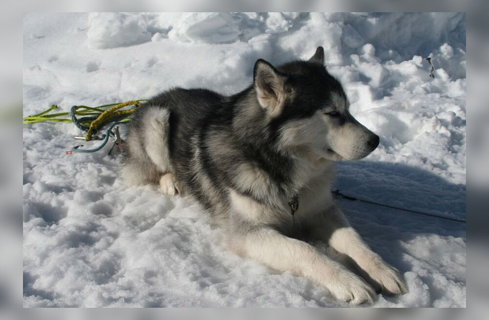 Millal koerast veoloom sai?