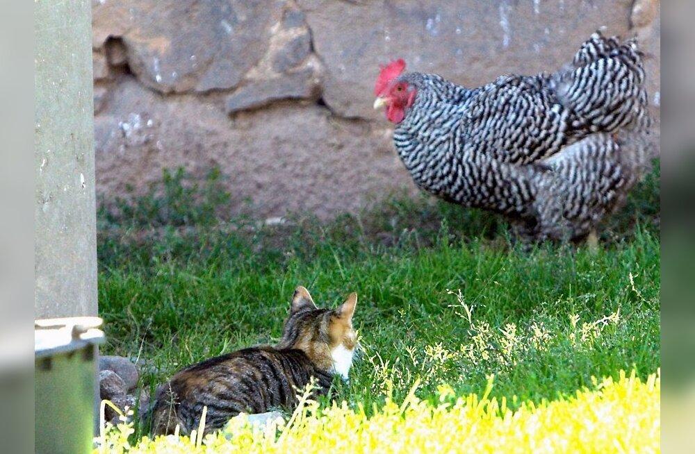 Tükike maaelu: kass ja kana