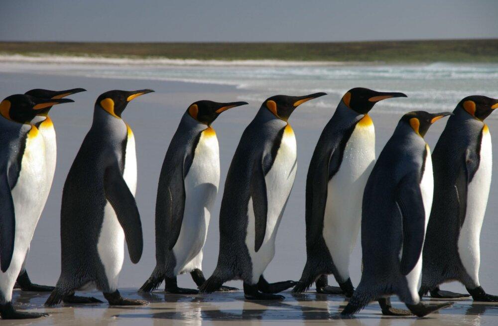 Falklandi pingviinid paljunevad jõudsalt tänu... maamiinidele
