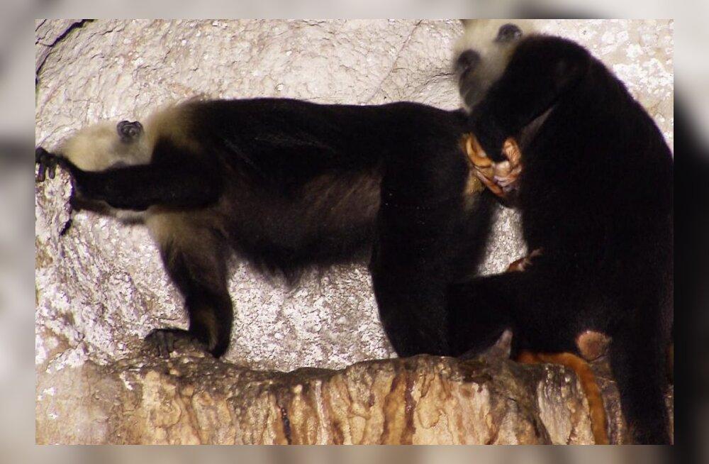FOTOD: Ja ahv leidiski endale elukutse: ämmaemand sünnitusel