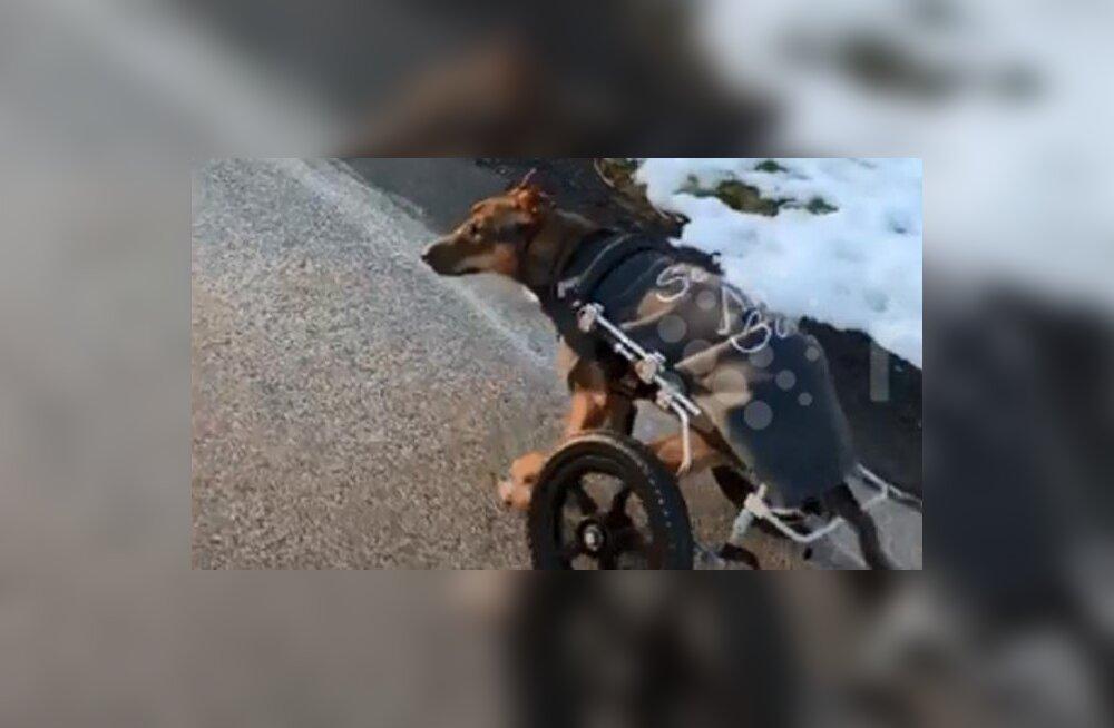 Happega üle valatud koer jätkab elu ratastoolis