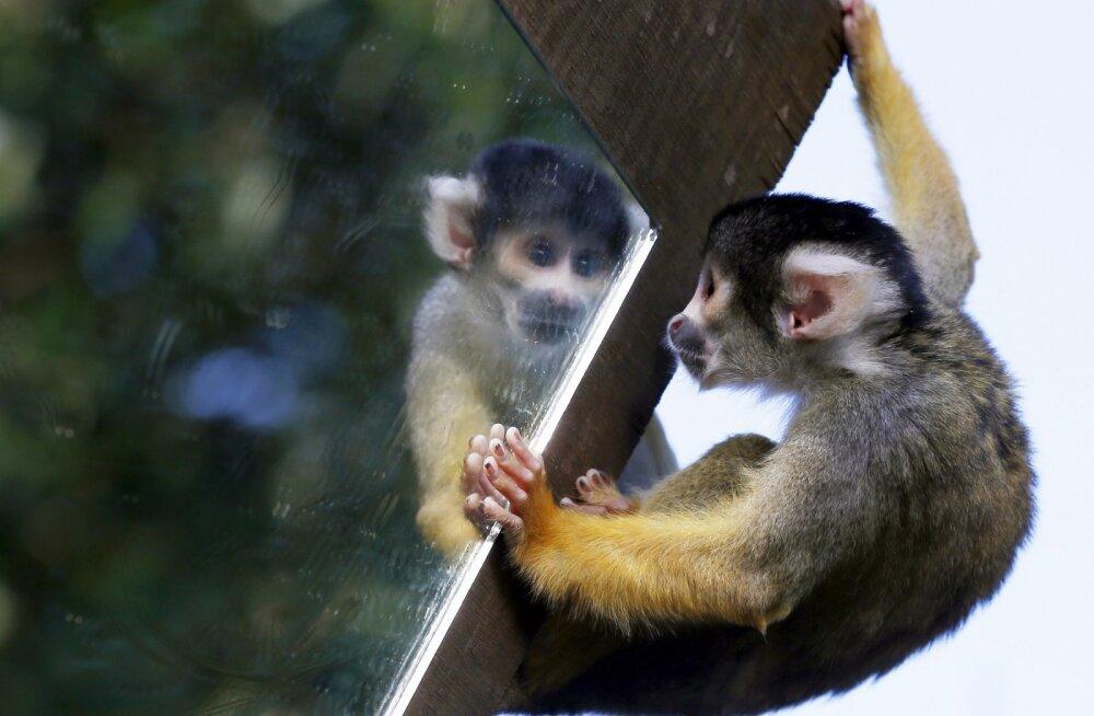 Kas loom tunneb end peeglist ära? Sõltub loomast!