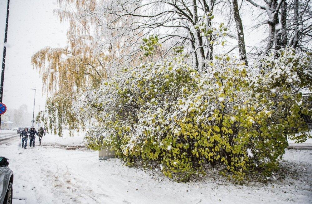 Esimene lumi tuli Tartumaal tänavu oktoobri lõpus ajal, mil puud polnud jõudnud lehtedest loobuda.