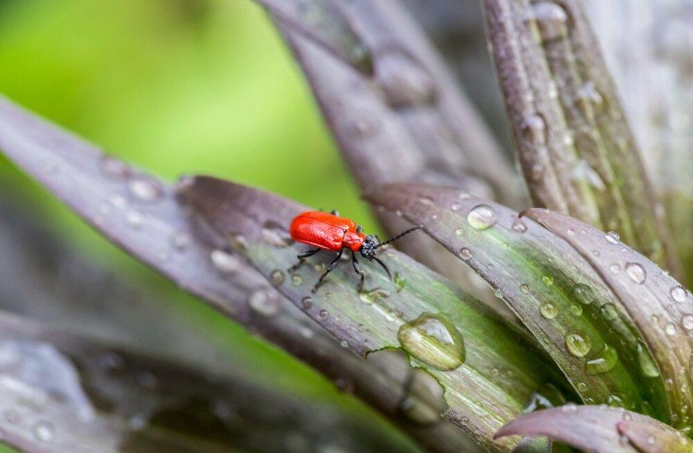 Kauni välimusega putukast ei usukski selliseid pahategusid.