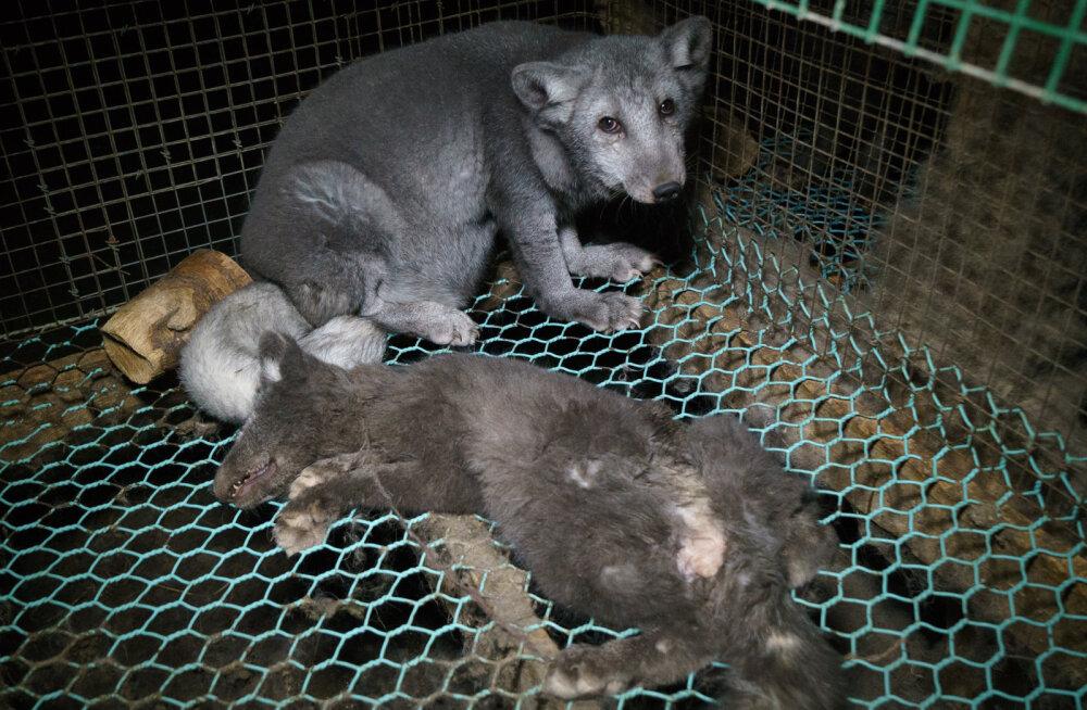 Jahmatavad FOTOD | Soome karusloomafarmide rebased on aretatud lausa hiigelmõõtmetesse