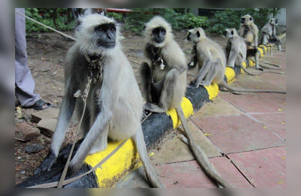 Inimkõne võib pärineda ahvide matsutustest