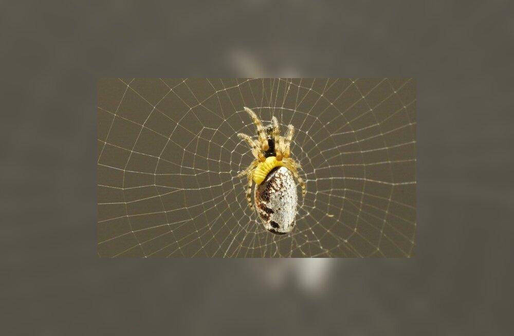 Parasiitherilane muudab ämbliku herilasevastseid kaitsvaks zombiks