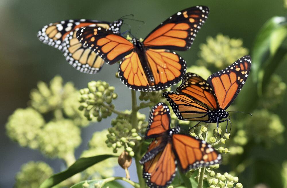 В Финляндии все чаще замечают новые виды южных бабочек. Как они сюда попадают?