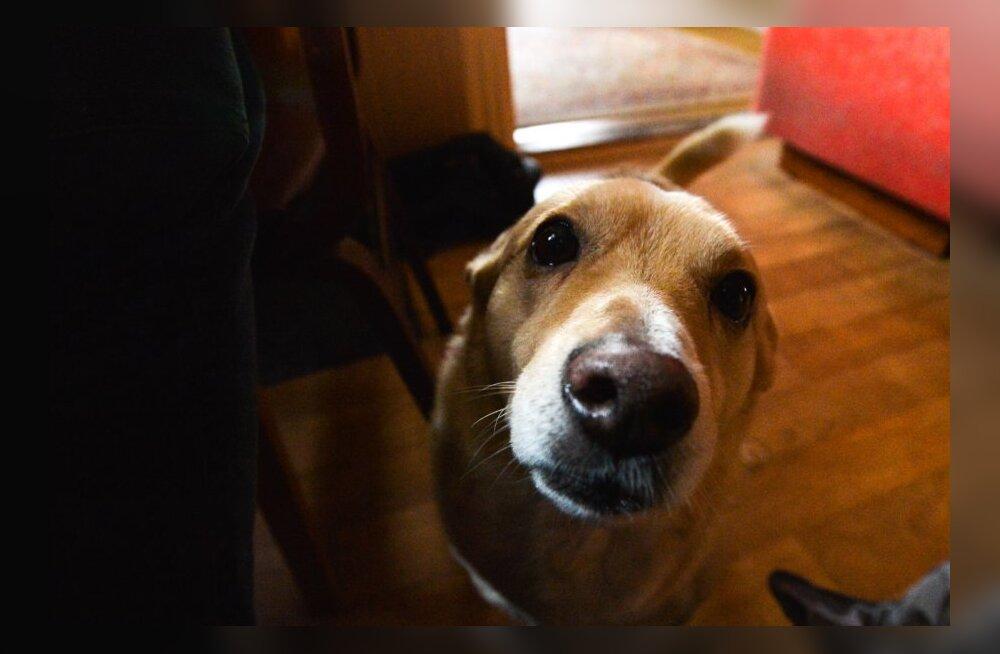 """Tugikoerte keskuse perenaine: """"Teisele inimesele oma tunnetest rääkides võib kuulaja tüdineda. Koer kuulab lõpuni"""""""