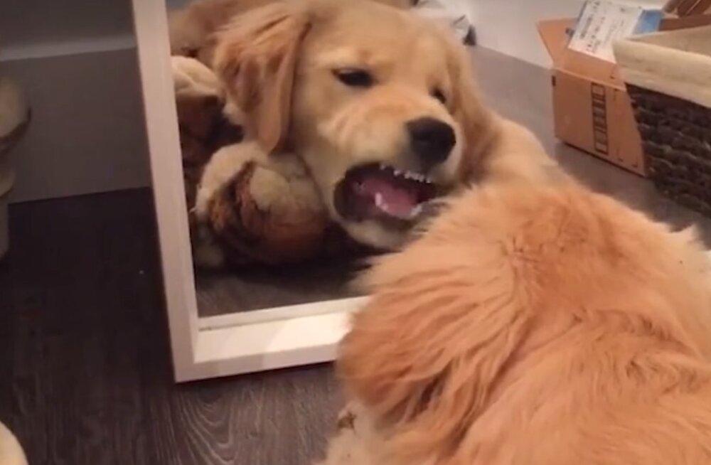 Naljakas VIDEO | Koer kurjustab oma peegelpildiga, sest ohus on tema lemmikmänguasi