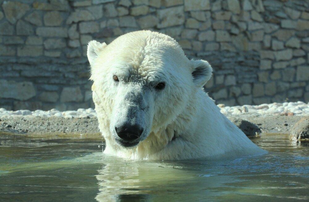 Tallinna loomaaia jääkaru Nord