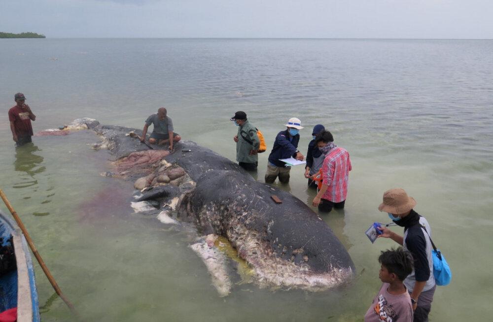 В Индонезии в желудке мертвого кашалота найдено более тысячи пластиковых фрагментов
