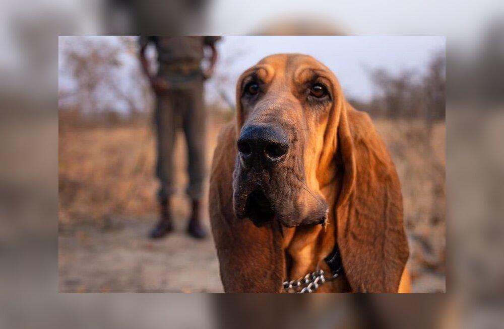 Spetsiaalselt treenitud koerad päästsid 45 ninasarviku elu