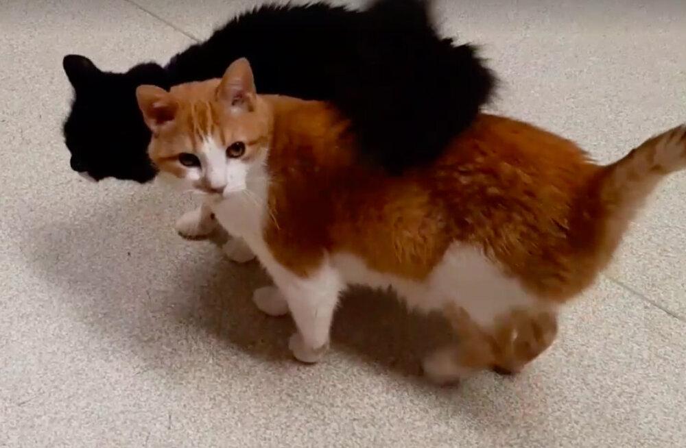 VIDEO   Kasside kehakeel ei valeta! Turvakodu kassid näitavad, mis see armastus siis ikkagi on