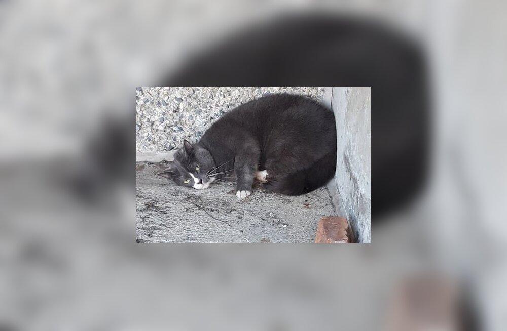 Lasnamäel aknast alla kukkunud kass tuli eutaneerida