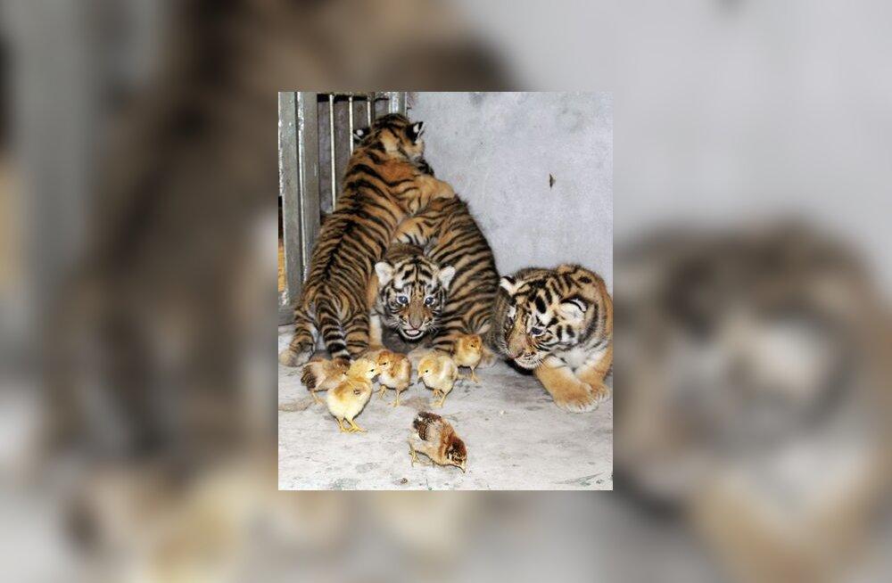 Tiigrikutsikad ja tibud