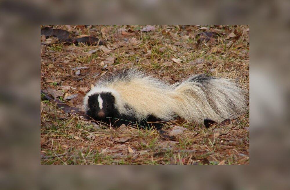 Kas teate, kes on ainus kiskja, kes regulaarselt skunke kütib?