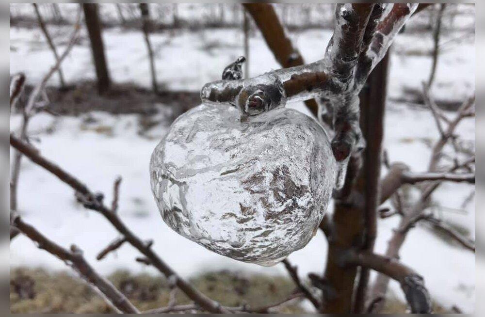 На дереве в США выросли призрачные яблоки