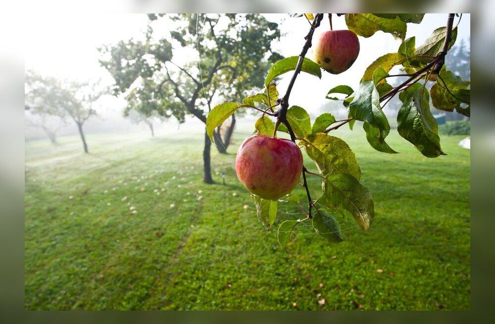 Яблочный бизнес бывшего эстонского автомагната продается за миллион евро