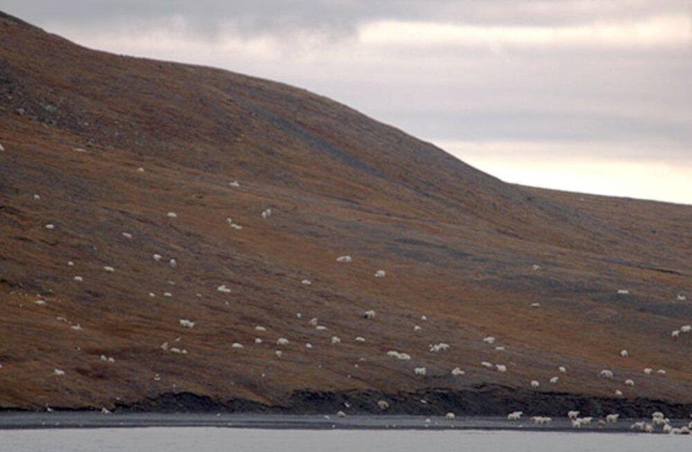 Haruldane vaatepilt: üle paarisaja jääkaru kogunes rannas toimuvale pidusöögile