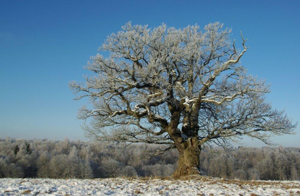 Puuturism sobib Eestile hästi - vaata, milliseid puid soovitavad arboristid külastada