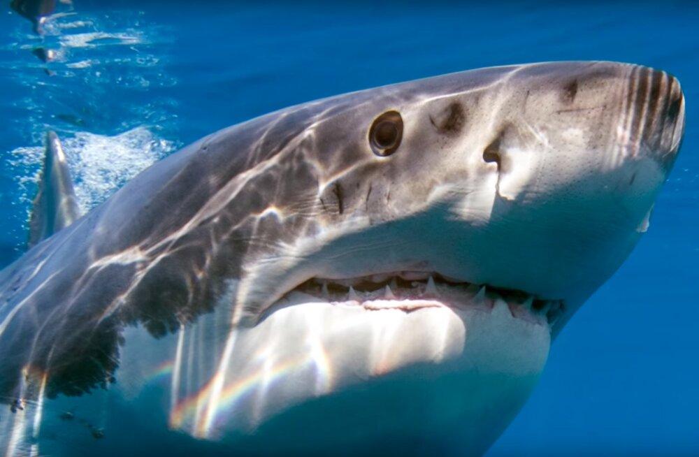 VIDEO | Suur müsteerium: miks ei ole mitte üheski maailma okeanaariumis mõrtsukhaid?