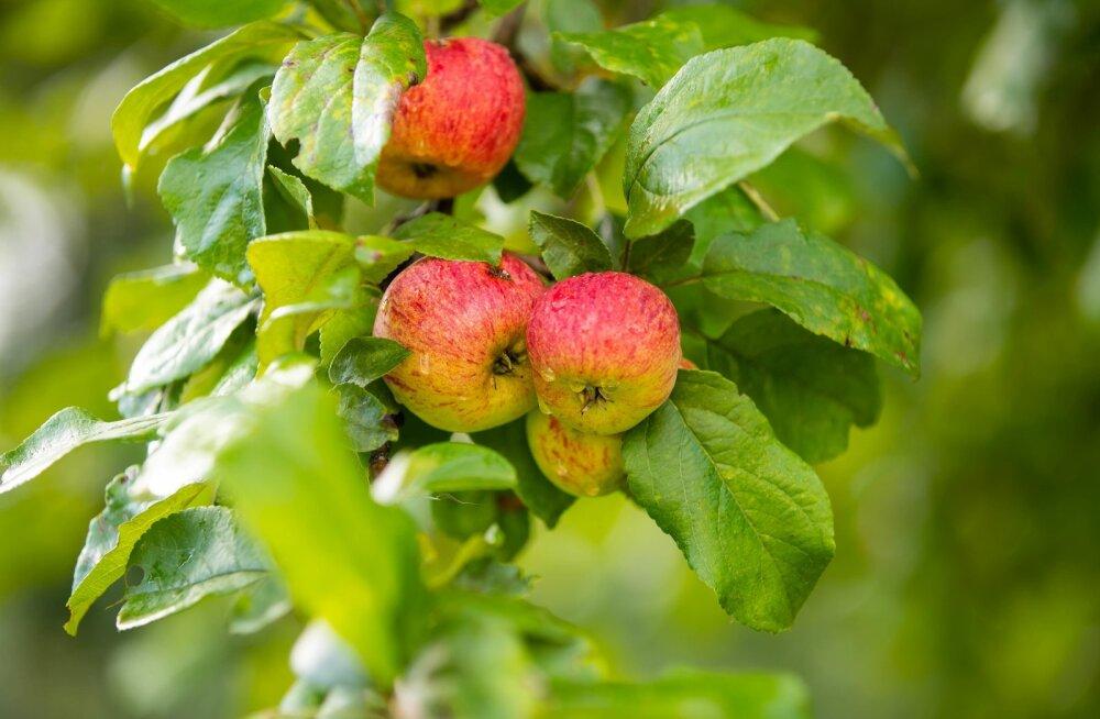 Sügisesed õunad