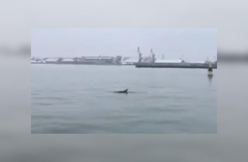 ВИДЕО: В Балтийском море у берегов Латвии замечен дельфин