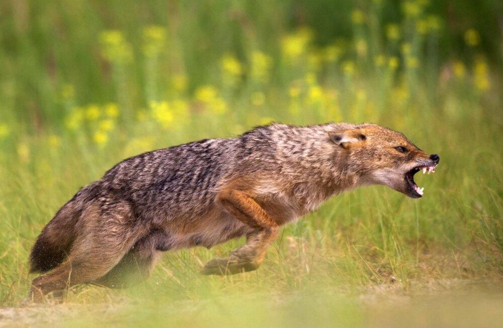 Soomes nähti esimest korda šaakalit. Loom rändas tõenäoliselt Eestist