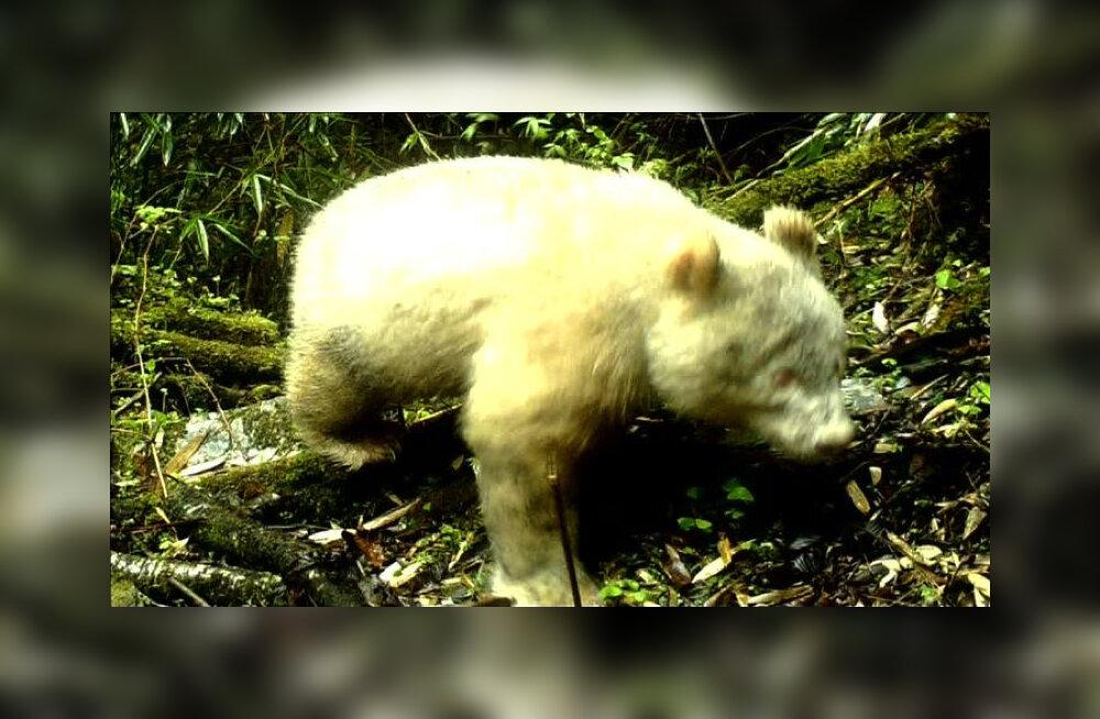 В Китае впервые сфотографировали панду-альбиноса