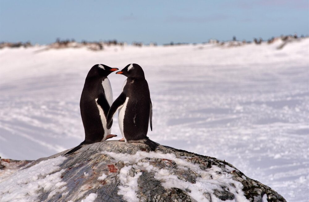 Ai-ai! Kas pingviinid polegi oma kaaslasele truud ja harrastavad kõrvalsuhteid?