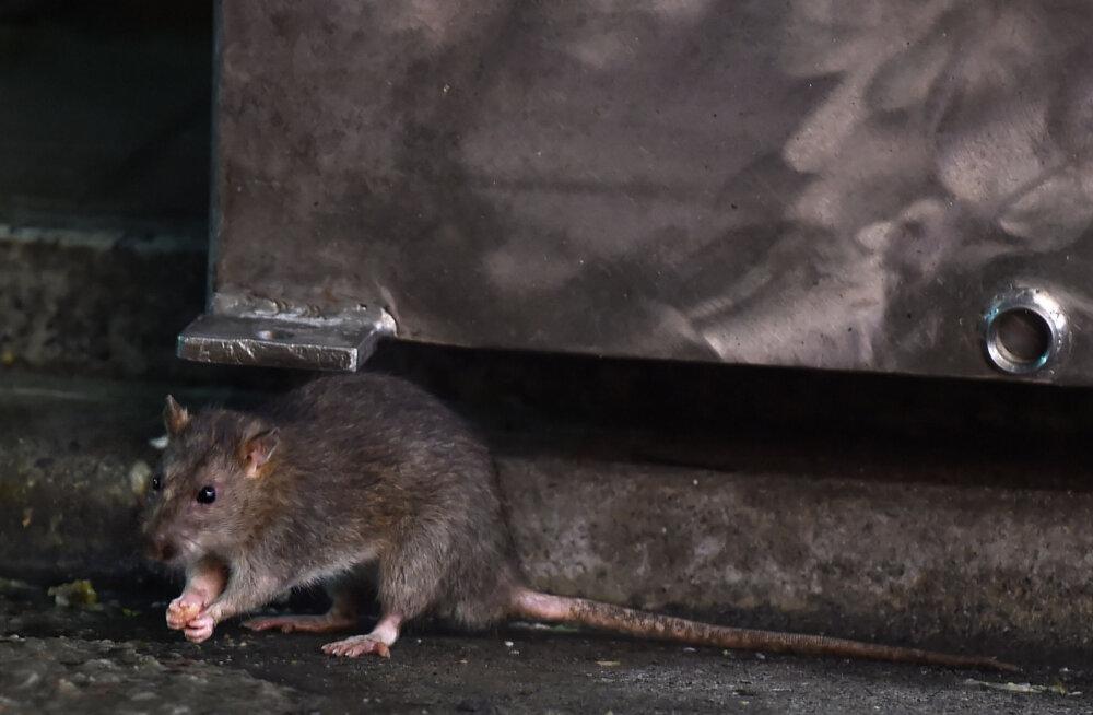 В Вильнюсе наблюдается нашествие крыс